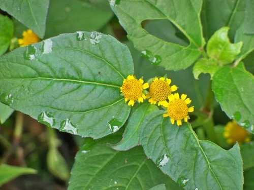 Chữa viêm lợi bằng hoa cúc