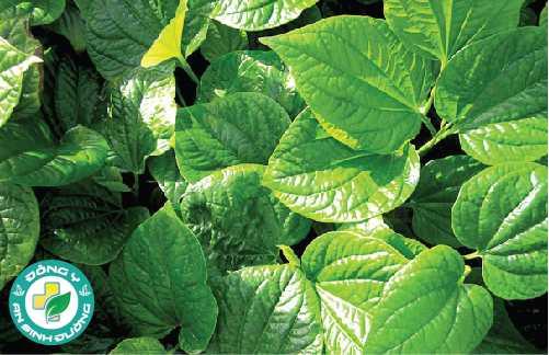 Lá trầu không có chứa tới 2,4% tinh dầucó đặc tính kháng sinh mạnh giúp trị viêm nướu
