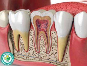 Giải phẫu răng: Răng trưởng thành (răng vĩnh viễn)