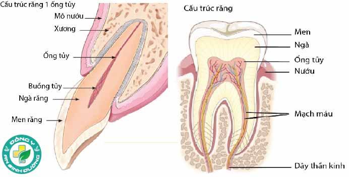 Cấu trúc của một chiếc răng
